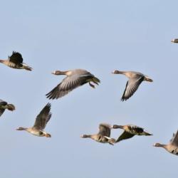 wild-geese-sipa pixabay
